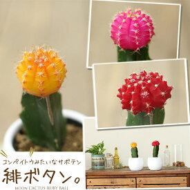 【お届けは1/24〜】カラフルなサボテン ヒボタン【※サボテンの色はお任せとなります】(今月の植物)【#元気いただきますプロジェクト】