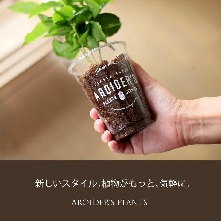 お洒落なプラカップに、コーヒーの木を植えてみました。排水穴が開いてないので、デスクや洗面台に、ポンと雑貨感覚で置けるスタイルです☆【他に、ポトスライムコンパクト、アスプレニウムから選べます。】