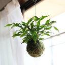 土をなるべく落とし、苔玉に仕立てにしたから軽い!吊るして見て。部屋の雰囲気が変わります!カンガルーファンの苔玉【ミクロソリウム・ディベルシフォリウム 吊り下げ】