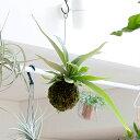 【送料無料】コウモリランの苔玉葉が美しい品種″ヴィーチ—″おしゃれなインテリアとして。【ビカクシダ・ビーチ— 吊り下げ観葉植物】