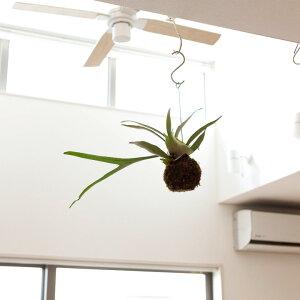 【送料無料】コウモリランの苔玉葉が美しい品種″ヴィーチー″(ビカクシダ・ビーチー)【吊り下おしゃれなげ観葉植物】