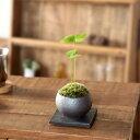 ミニで可愛い、ラッキー♪ 観葉植物/四つ葉のザミア。観葉植物観葉植物 洋風にも和風にも合う
