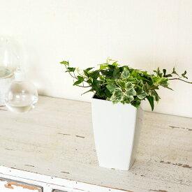 アイビー3種の寄せ植え(今月の植物)