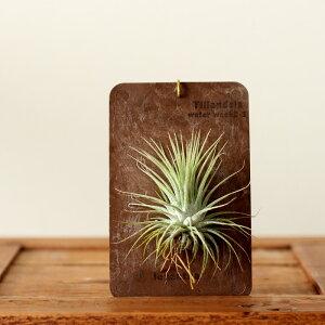 カッコ可愛い、新提案!エアープランツをナチュラルアンティークな板に張り付けて。観葉植物専門店がすすめる本来のチランジアの楽しみ方【育て方説明書付き・品種はお任せです】