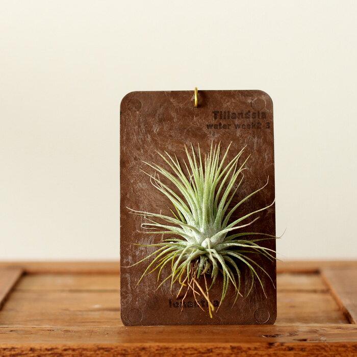 まるで標本のように。「品種」も選べます!エアープランツを「育てたい」し「インテリア」としても飾りたい!そんな方は、この飾り方がお勧めです!【観葉植物 チランジア エアプランツ】