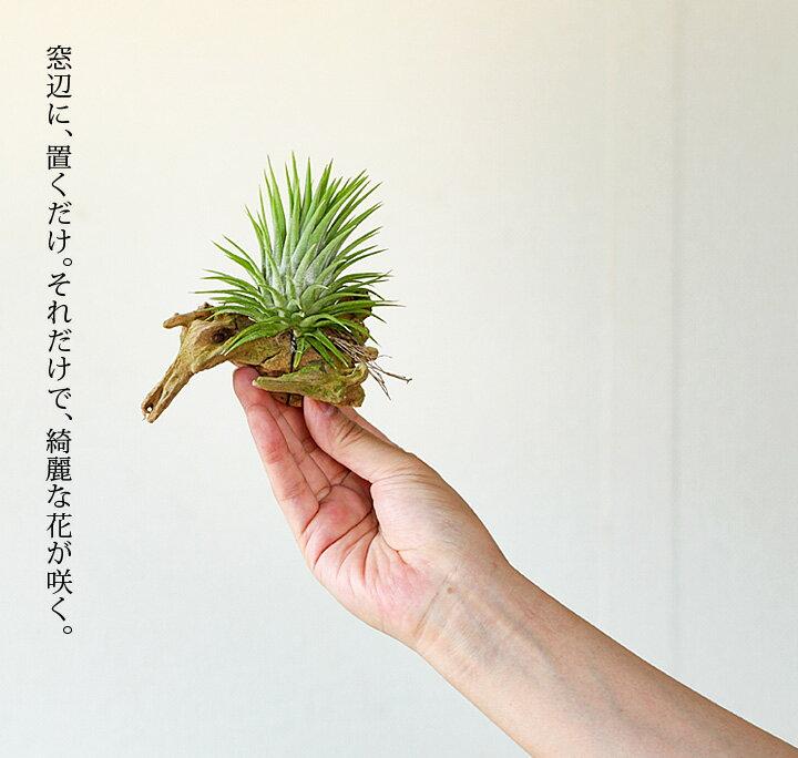 【店長おすすめ】名人・杉山さんの根っこが生えたエアープランツを、マングローブの木にくっつけて。※品種はお任せとなります