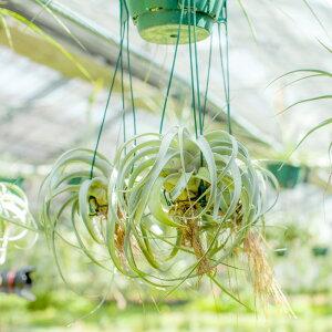 【送料無料】お尻を見て下さい!「発根」しているんです!「インテリア」としてでなく「植物(もしくはペット)」として、育ててほしい。エアープランツの王様「キセログラフィカ」。丈夫な発根仕立て!【ティランジアチランジア観葉植物】