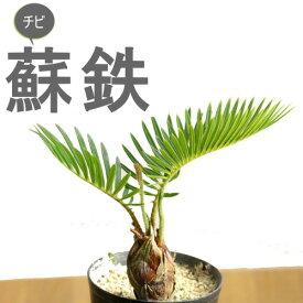 蘇鉄ソテツ2.5号苗(今月の植物)