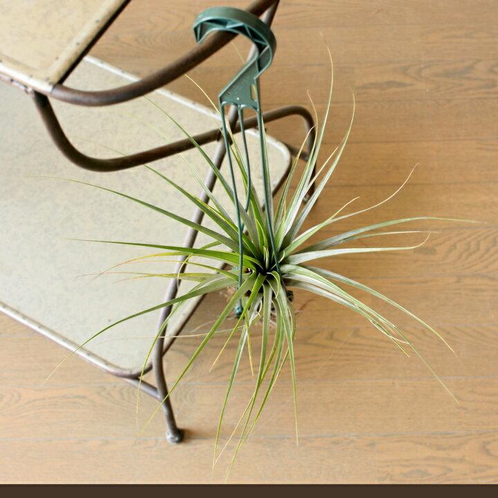 """日本一!私はエアープランツの栽培農家では、この人が日本一だと思います名人・杉山氏の根っこが生えたティランジア""""ファシクラータ″(ファシキュラータ)大きく、そしてシャープに葉を伸ばす姿は「絵」になります。【観葉植物 吊り下げ】"""