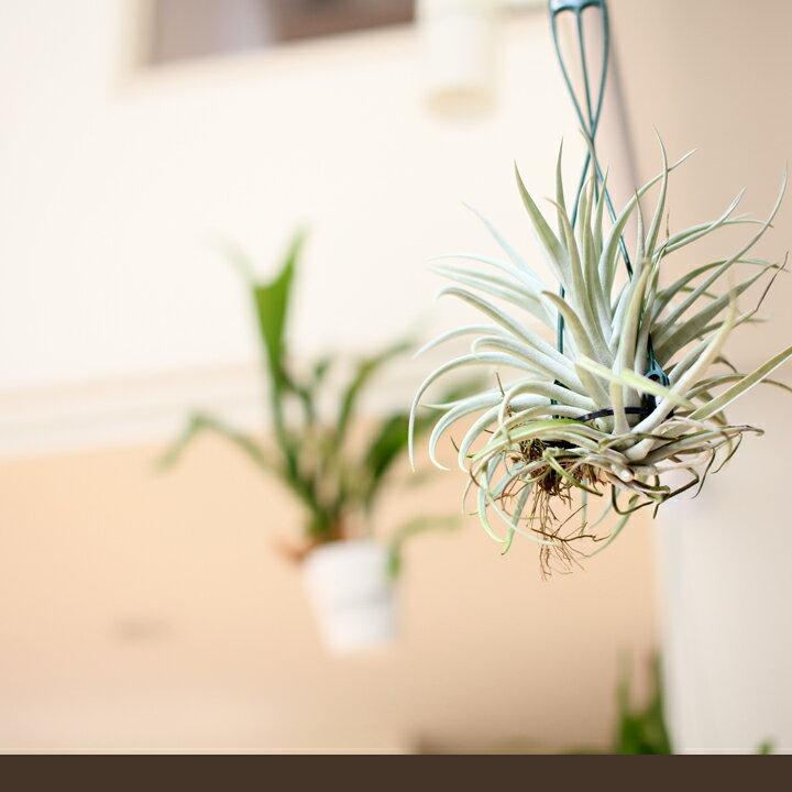 """日本一!私はエアープランツの栽培農家では、この人が日本一だと思います名人・杉山氏の根っこが生えたティランジア美しい銀色の葉を持つ品種、""""ハリシ—″※比較的コンパクトな品種。スッキリ飾れます!【吊り下げ】"""
