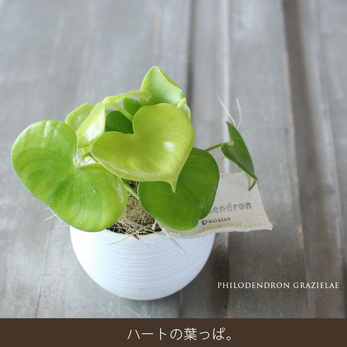 土を使ってないから、鉢が倒れても安心!ハート型の観葉植物、フィロデンドロン・グラジエラエ【育てやすい観葉植物  育て方説明書付き】【ミニ観葉植物 インテリア】