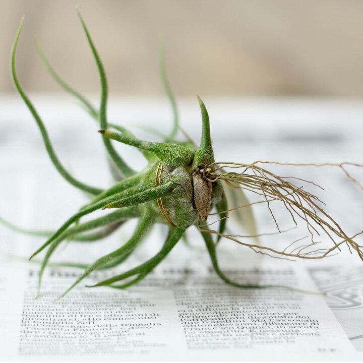 注目!当店のエアープランツは「発根」してます!【育てやすいミニ観葉植物エアプランツ・発根コレクション】