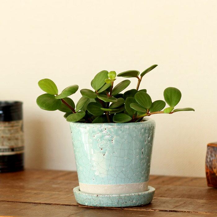 観葉植物ペペロミア・ホープをキュートなカラー陶器に植えて。[観葉植物]