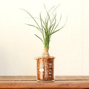 「土」を使わいから、色んな場所に置ける!観葉植物のディスキディア&ホヤ。お気に入りのちょっぴり珍しい品種を揃えました♪in小さなボールPOT
