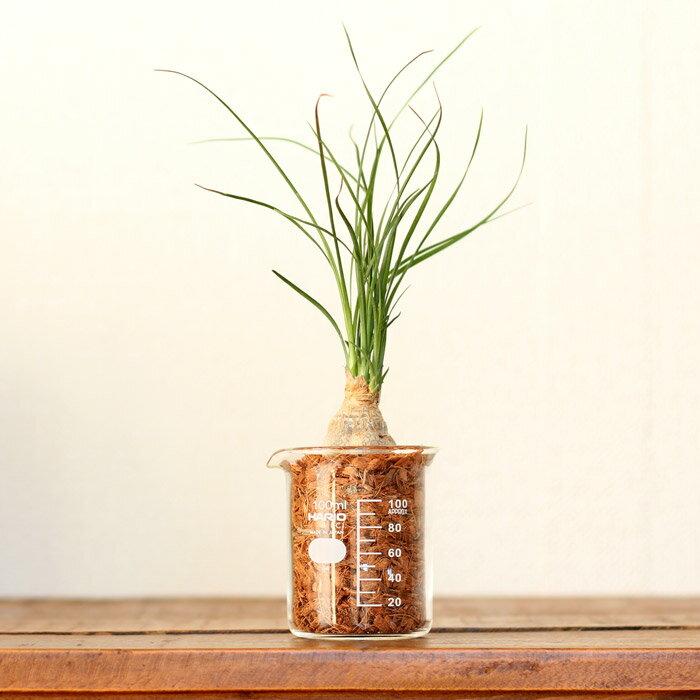 土を使ってなくて、軽い!だから、飾りやすい♪そして植物にもこだわり!ミニサイズで、こんなり盛りっとしたポニーテールはなかなかありません!トックリラン・ポニーテールinビーカー【理化学系インテリア コーデックス】