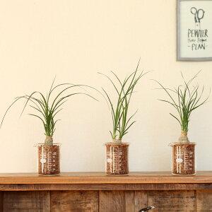 土を使ってなくて、軽い!だから、飾りやすい♪そして植物にもこだわり!ミニサイズで、こんなり盛りっとしたポニーテールはなかなかありません!トックリラン・ポニーテールinビーカー【理化学系インテリアコーデックス】