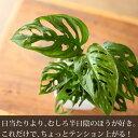植物って不思議だな・・・この子を眺めてると、植物の奥深さを感じる。エキゾチック・マドカズラサイズも価格も、試してみるのにはイイ感じですよ!