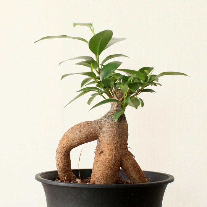 まるで大木のような!癒しのミニ観葉植物ガジュマルの木 4号鉢×1【人参がじゅまる 根上り】