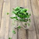 カッコいい品種が多いディスキディアの中で「キュート部門」担当。ディスキディア「インブリカータ」3号苗×1【観葉植物】