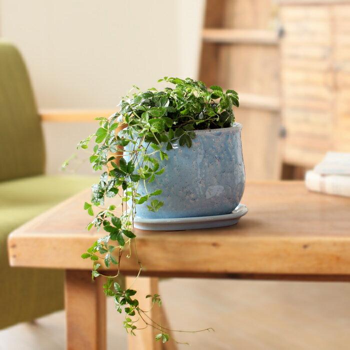水色の鉢と、GREENのコントラストが抜群!パルテノシッサス・シュガーバイン貫入陶器鉢