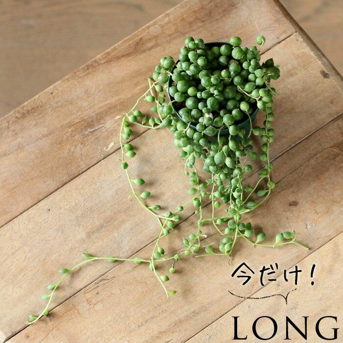 ぷりっプリで超可愛い、名人・磯部さんのグリーンネックレス2.5苗×1【観葉植物 多肉植物】