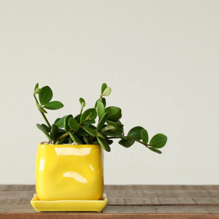 【送料無料】見てるだけで元気をもらう、黄色と緑のコントラストペペロミア・ホープ