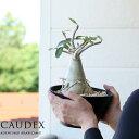 ●完売御礼!お届けは6/21〜育ててみたくなる、話題のコーデックス(塊根植物)アデニウム・アラビカム