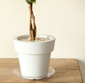 【送料無料】※6/12〜のお届けコロン。可愛らしい陶器に、スイカみたいな観葉植物、ペペロミア・アングラータを植えました。
