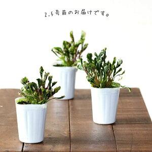 珍しいアジュガ「シシガシラ」(屋外の植物です)