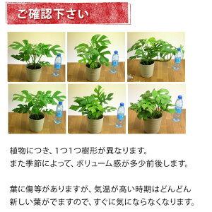 観葉植物杉山さんの姫モンステラ(受皿付き)