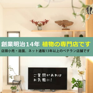 ●お届けは3/31〜観葉植物・杉山さんの姫モンステラ(受皿付き)[インテリア観葉植物]