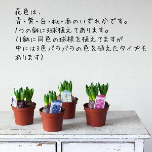 ヒヤシンス2鉢セット(花色はお任せです)