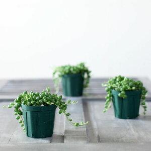 ぷりっプリで超可愛い、名人・磯部さんのグリーンネックレス2.5苗×1【観葉植物多肉植物】