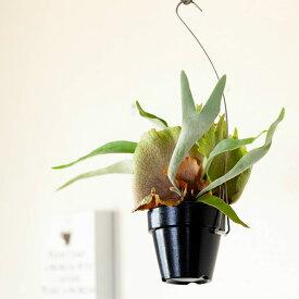 ●完売御礼!お届けは7/4〜「貯水葉わさわさ!」コウモリラン・ヴィーチーを、スッキリとしたハンギングPOTで