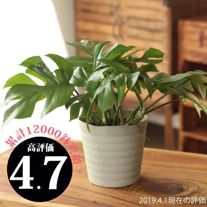 ●お届けは5/24〜観葉植物 杉山さんの姫モンステラ(受皿付き)
