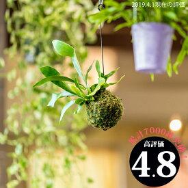 完売御礼!次回お届けは2/4〜【送料無料】コウモリラン・ネザーランドの苔玉(ビカクシダ)(今月の植物)【#元気いただきますプロジェクト】