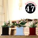 ●完売御礼!お届けは5/31〜【送料無料】観葉植物 『ホヤ・カルノーサ』