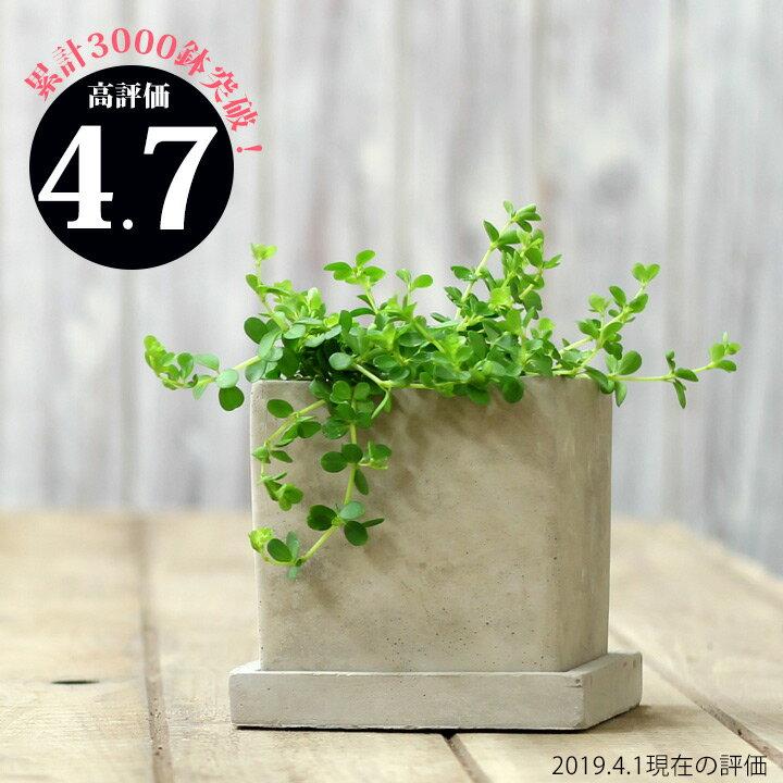 ●完売御礼!お届けは5/30〜今だけイモムシ君のオマケ付!【送料無料 観葉植物】ペペロミア・イザベル。育てやすく、インテリアGREENとしてもお勧めです。
