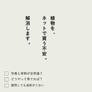 観葉植物今月のおすすめ!ピレア・ペペロミオイデス※3/26〜のお届け