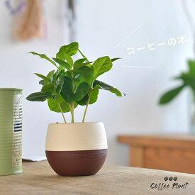 デスクの上で、やすらぎのcoffeタイムを。小さな、小さなコーヒーの木※鉢の色はお任せです(今月の観葉植物)