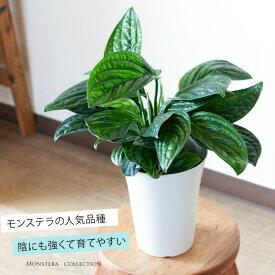 【お届けは10/22〜】めずらしいモンステラ・ジェイドシャトルコック観葉植物 インテリア(今月の植物)