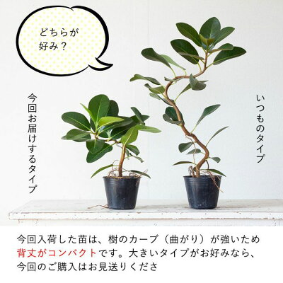 人気の「幹曲り」!フランスゴムの木3.5号苗