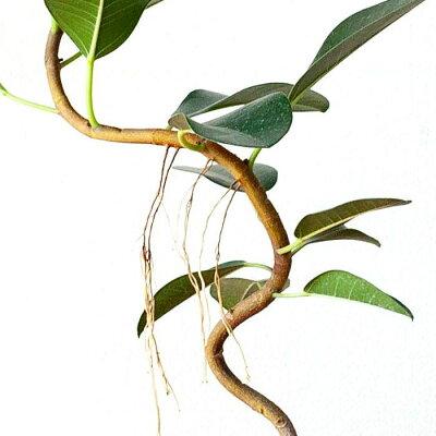 【9/14〜のお届け】観葉植物今月のおすすめ!「幹曲り」フランスゴムの木3.5号苗
