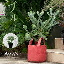 丈夫で、綺麗。アカシア・ブルーブッシュ5号鉢(今月の植物)
