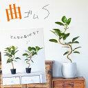 【9/20〜のお届け】観葉植物 今月のおすすめ!「幹曲り」フランスゴムの木3.5号苗
