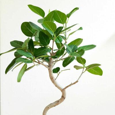観葉植物今月のおすすめ!幹曲がりのフィカス・ベンガレンシス※送料無料&同梱不可商品です