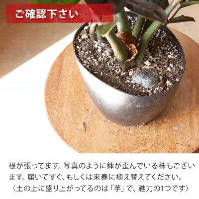 観葉植物今月のおすすめ!黒葉ザミオクルカス・レイヴン「親株」
