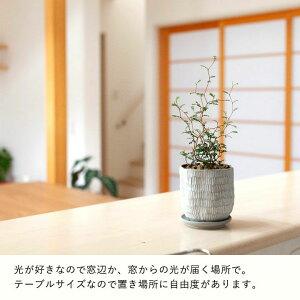 """ソフォラ・ミクロフィラ""""リトルベイビー″(今月の植物)"""