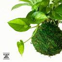 観葉植物 今月のおすすめ!ポトスグローバルグリーンの苔玉【5/20〜のお届け】