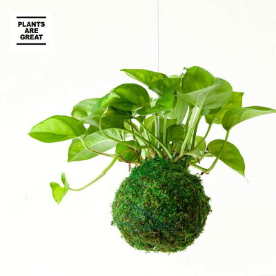【お届けは3/18〜】ポトス・グローバルグリーンの苔玉